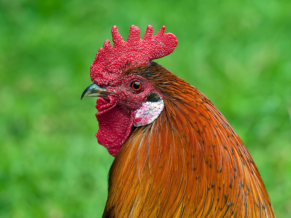 Hahn, Animal, Bird, Cockscomb, Poultry, Male Fowl