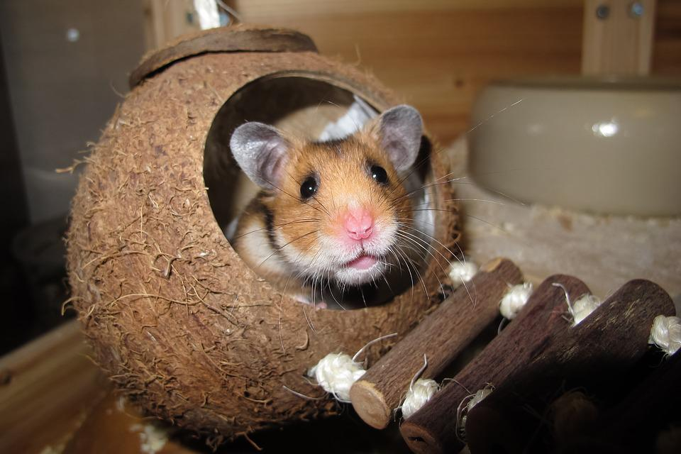 Hamster, Coconut, Sleep, Nest, Rest, Animal