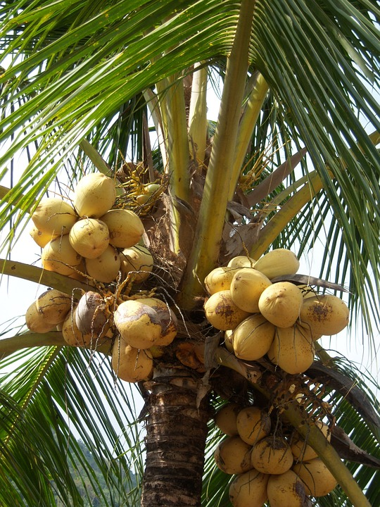 Coconuts, Palm, Frond, Caribbean, Jamaica, Coconut Tree