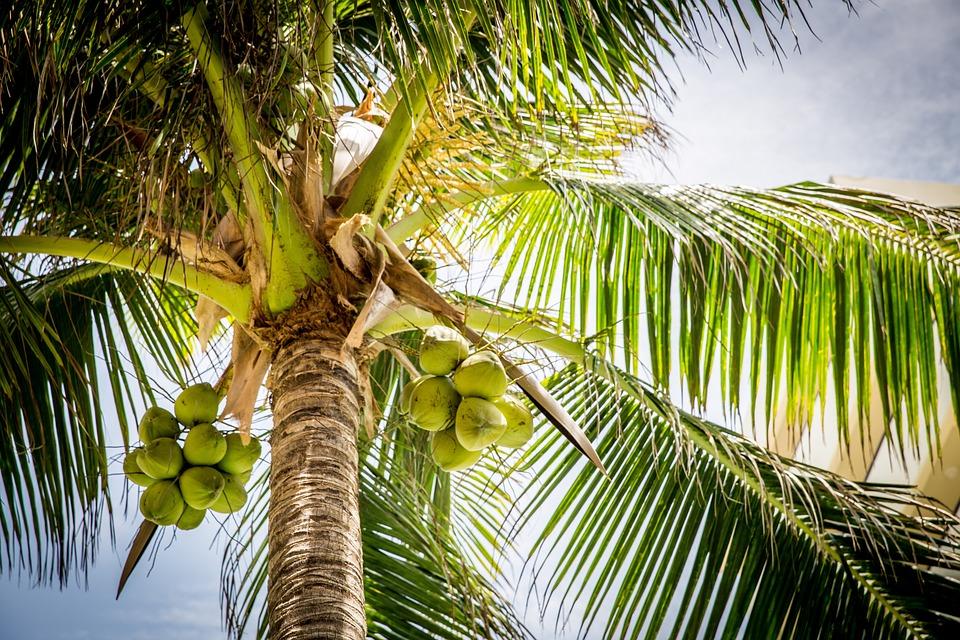Tree, Palm, Coconuts, Coconut Tree, Palm Tree, Leaves