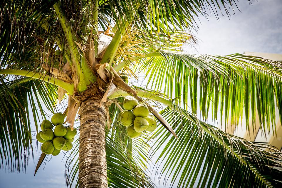 Beach, Tree, Palm, Coconuts