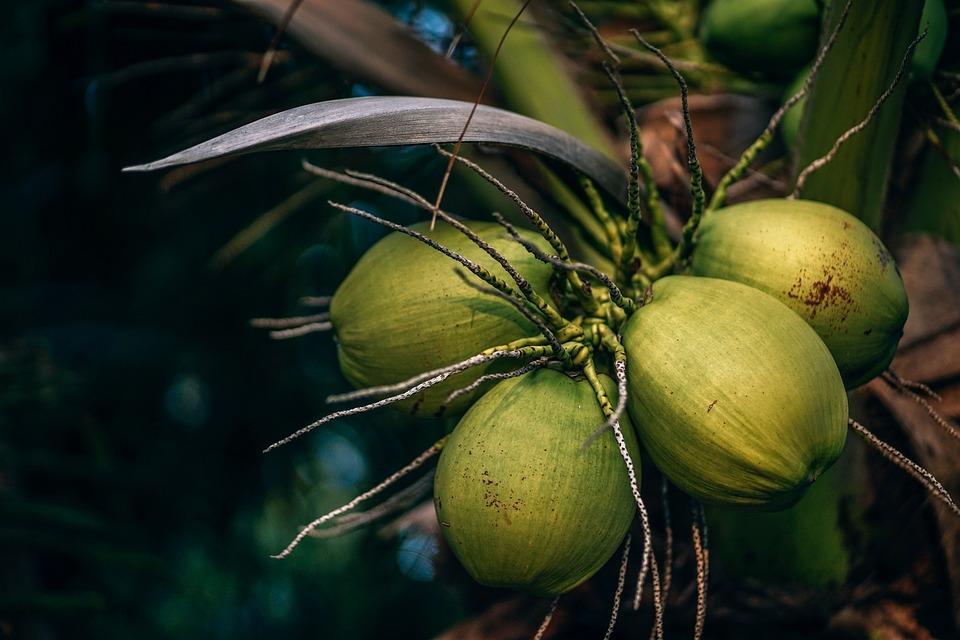 Green, Coconuts, Kohphangan, Island, Beach, Tropical