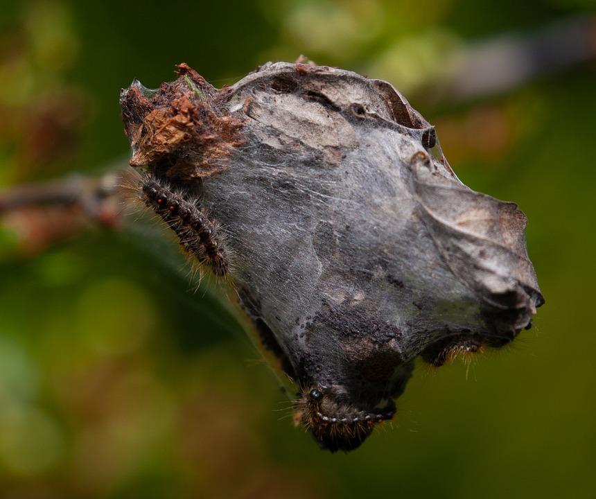 Brown-tail Moth Caterpillars, Caterpillars, Cocoon