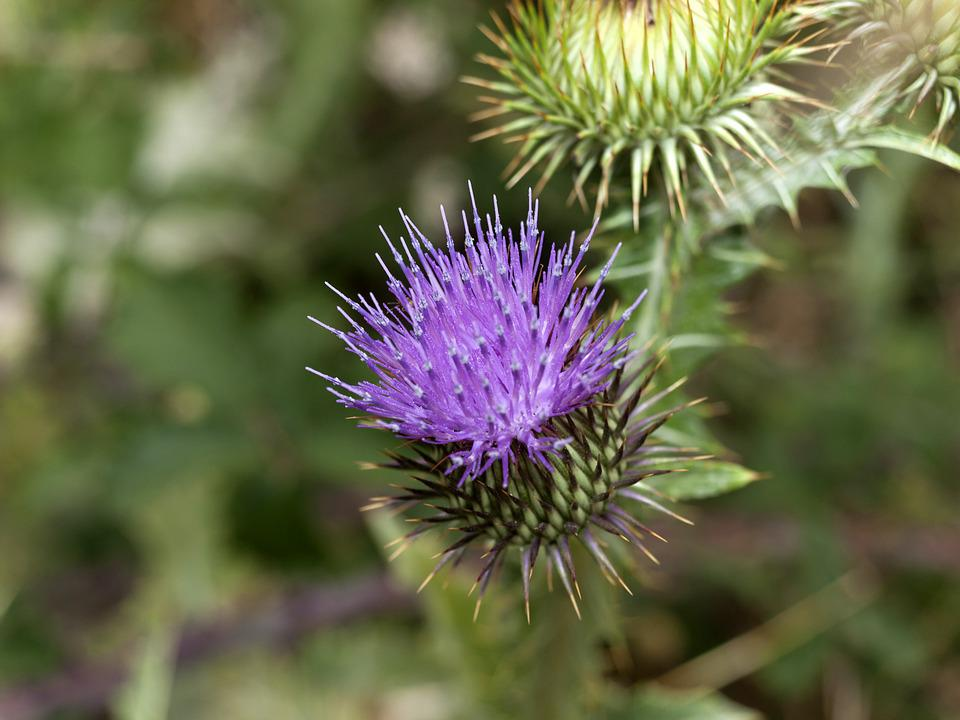 Cotton Thistle, Flower Thistle, Cocoon Flower Thistle