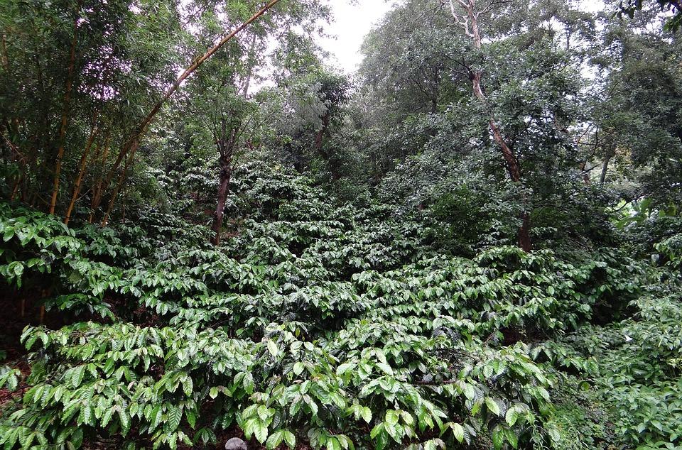 Coffee Plantation, Coffea Robusta, Rain Soaked