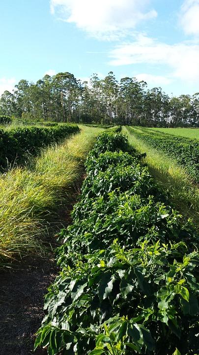 Cafe, Coffee, Plantation, Farm, Crop