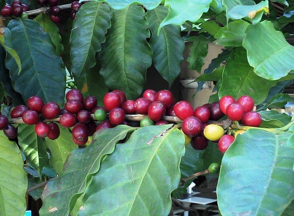 Coffee, Foot Of Coffee, Coffee Fruit