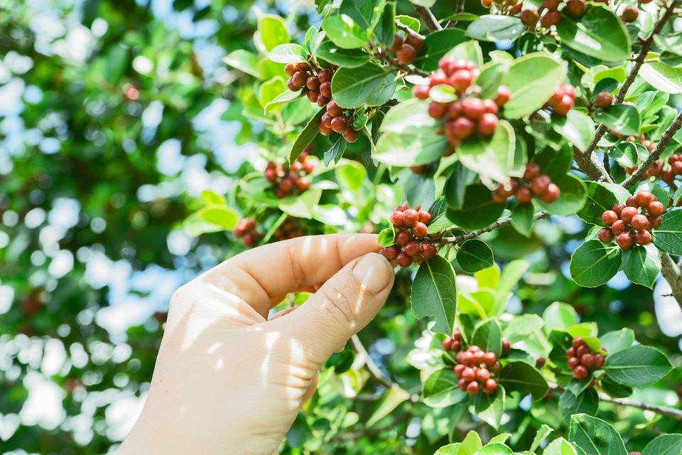 Coffee, Coffee Beans, Coffee Plant, Hand, Picking