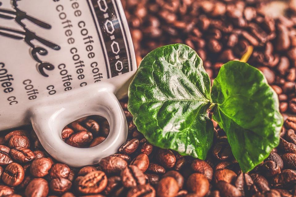 Coffee, Coffee Beans, Coffee Plant, Green, Caffeine