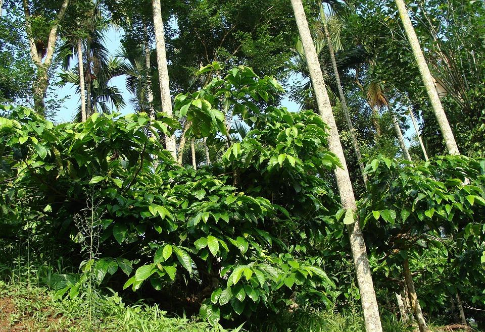 Coffee Plantation, Coffea Robusta, Areca Palms, Ammathi