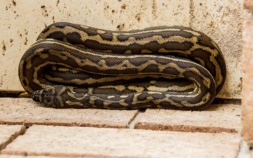 Carpet Python, Python, Coiled, Folded, Neat, Australia