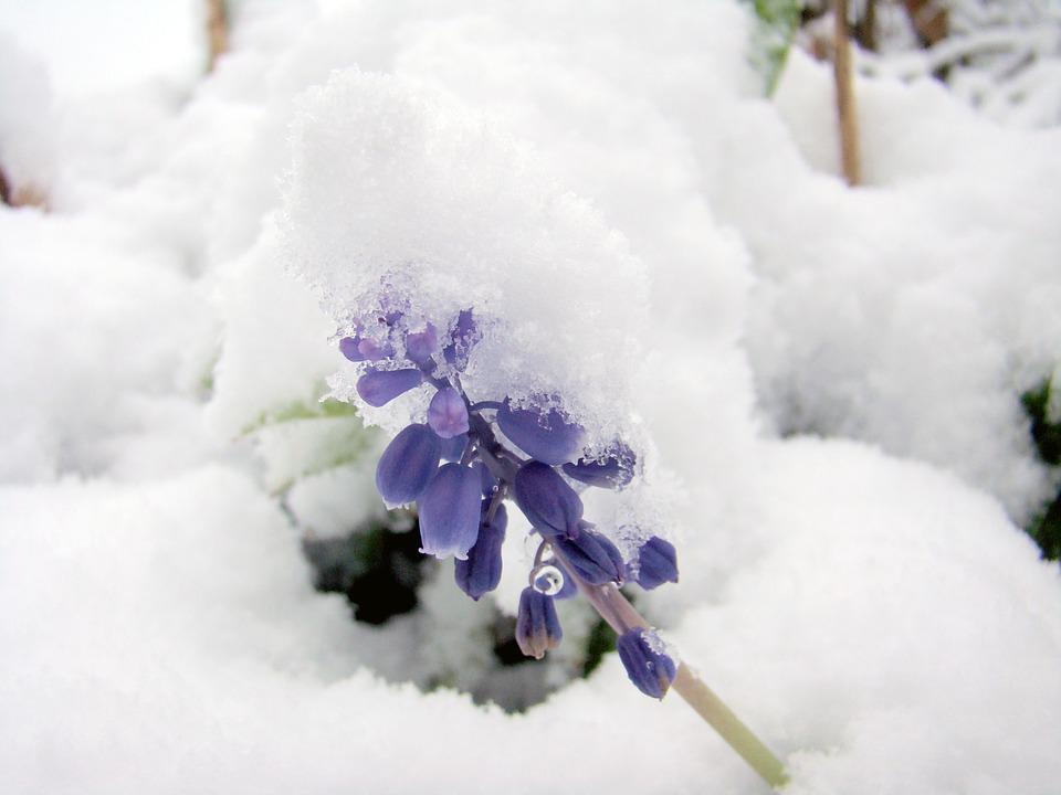 Snow, Winter, Cold, Flower, Frozen