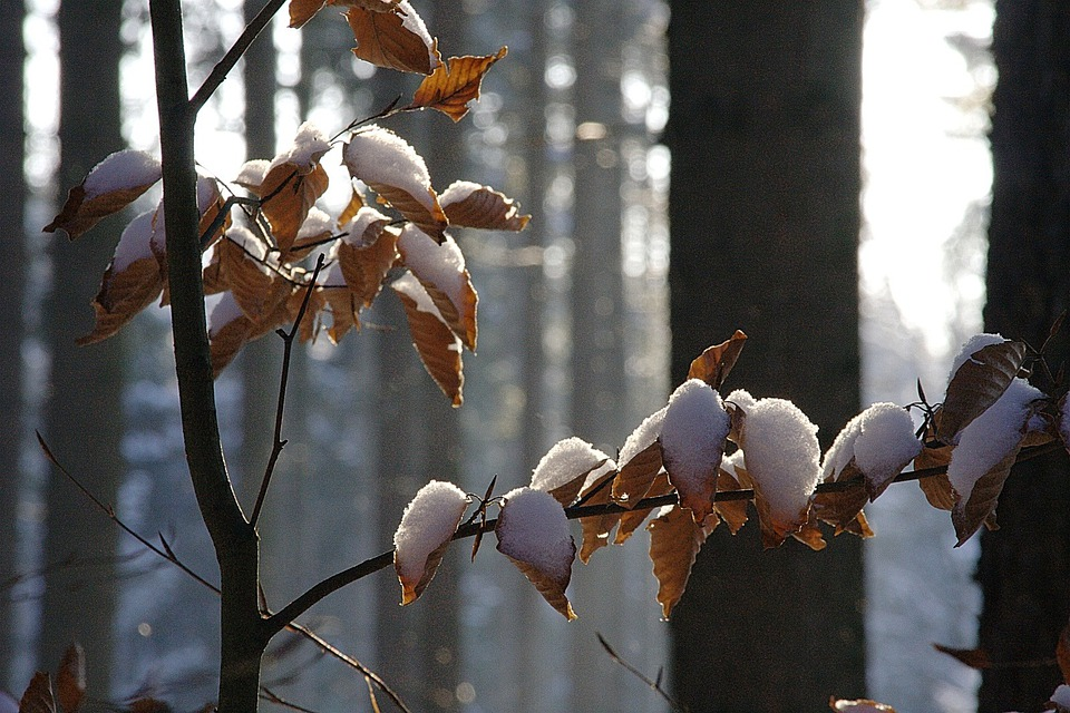 Winter, Forest, Nature, Leaves, Beech Leaves, Cold
