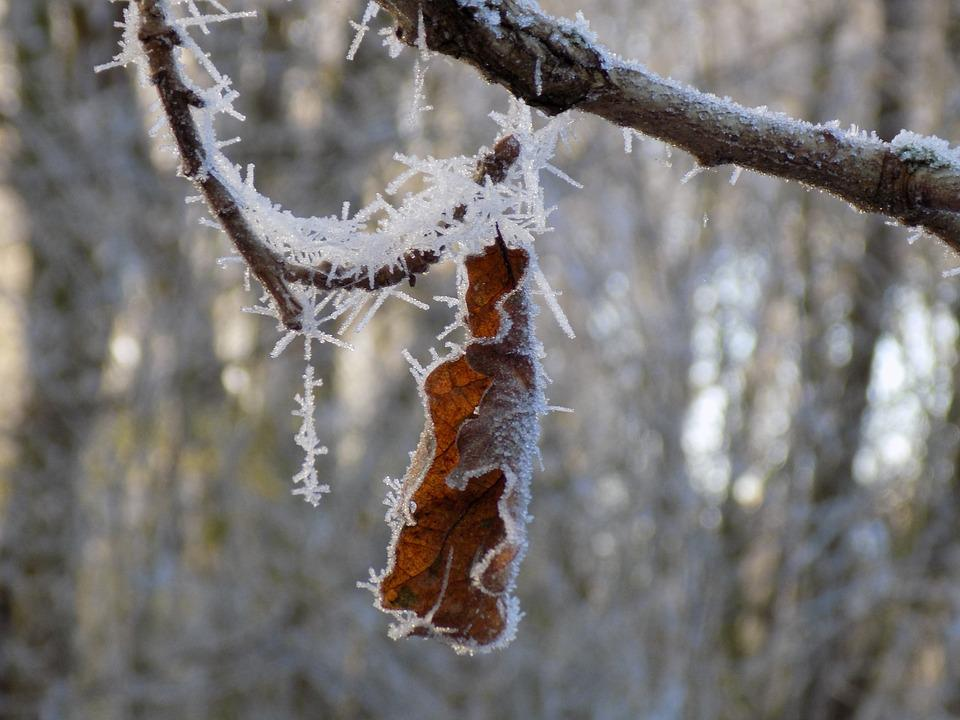 Frost, Cold, Frozen, Oak Leaf, Nature