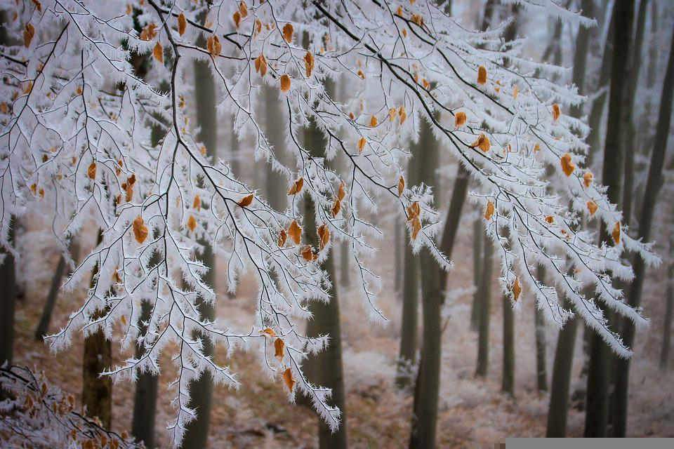 Beech, Branches, Frost, Snow, Winter, Rime, Cold