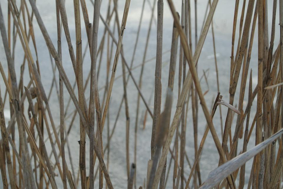 Reed, Halm, Bank, Winter, Cold