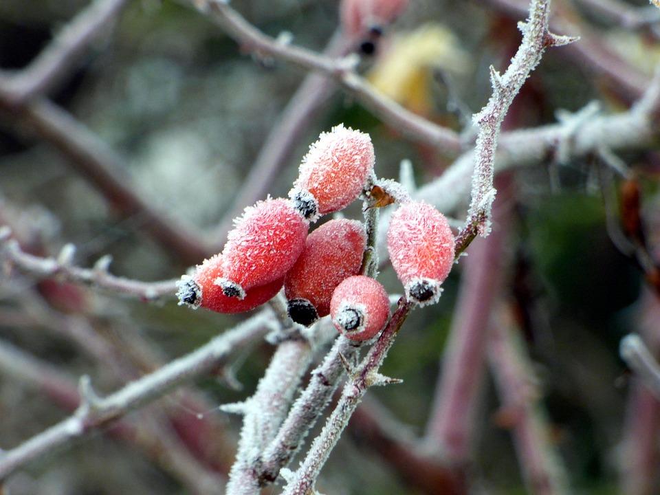 églantines, Gel, Fruit, Nature, Cold, Red, Thorns, Leaf