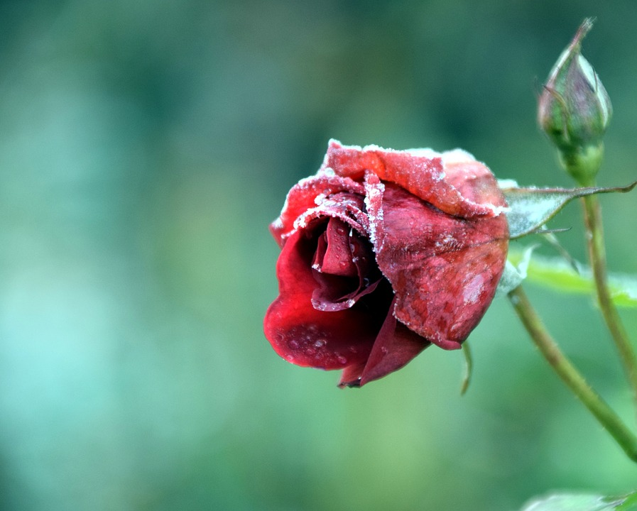 Rose, Frost, Winter, Cold, Nature, Flower, Frozen