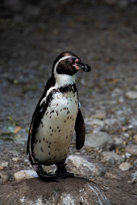 Penguin, Winter, Cold, Antarctica, Bird, Snow, Animal