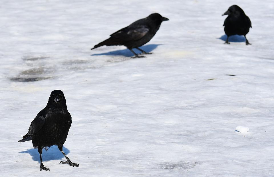 Crow, Snow, Winter, Cold, Raven Bird, Animal, Nature