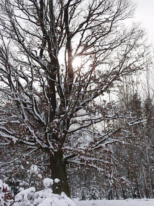 Winter Sun, Tree, Snow, Wintry, Cold