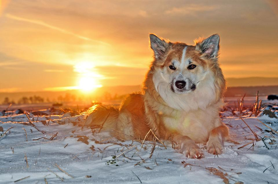Iceland Dog, Dog, Winter, Cold, Fur, Snow