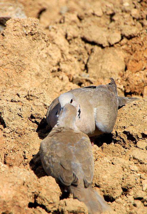 Dove, Birds, Collared, Avian, Fauna, Avifauna, Aves