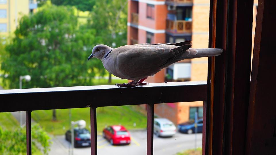 Eurasian, Collared, Dove, Railing, Balcony