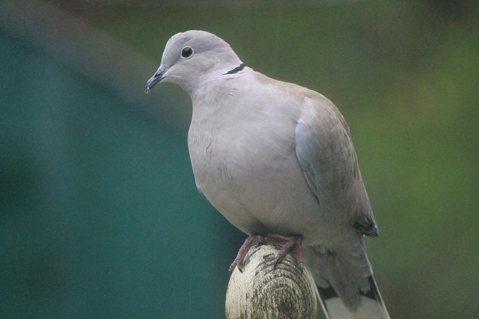 Pigeon, Dove, Collared Dove, Nature, Animal, Bird