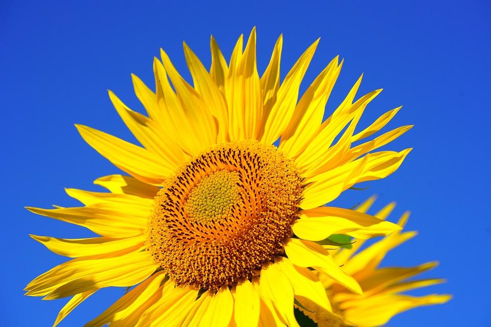 Sunflower, Blossom, Bloom, Pollen, Collect