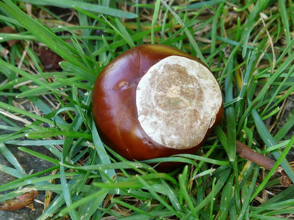 Chestnut, Buckeye, Fruit, Concerns, Ground, Collect