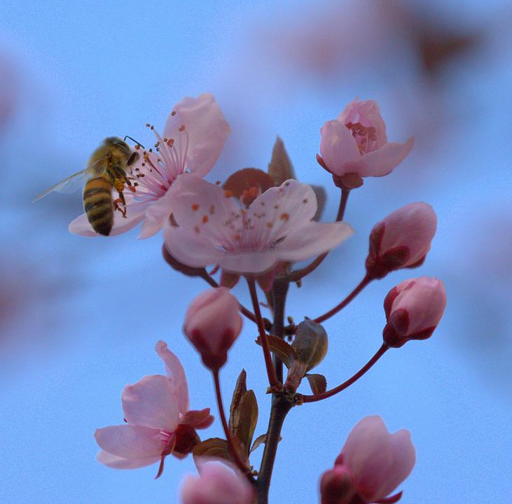 Bee, Honey, Collect, Hard Working, Cherry Blossom