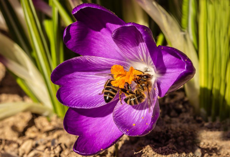 Bees, Crocus, Honey Bees, Insect, Collect Pollen