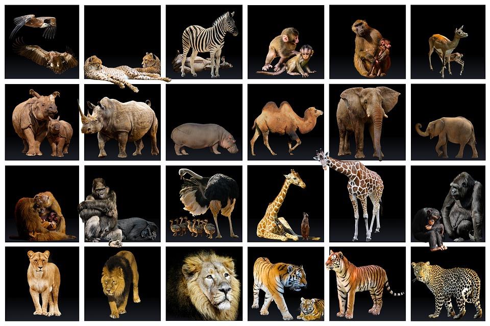 Animal World, Collection, Predator, Lion, Tiger