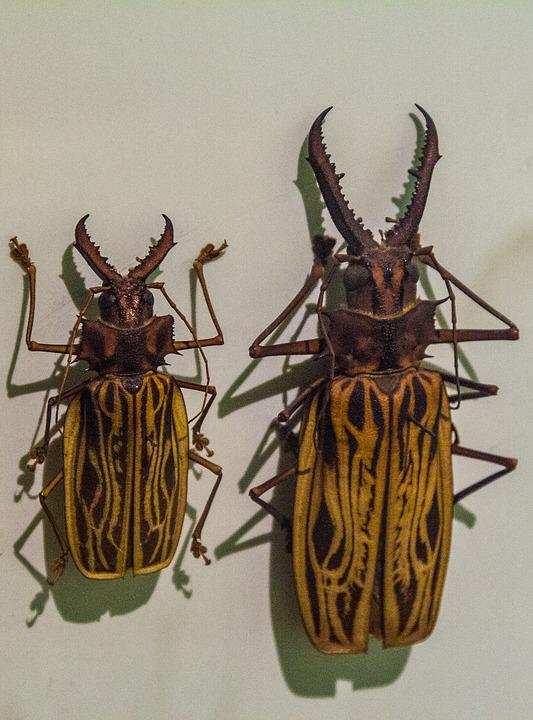 Beetle, Animal, Nature, Museum, Collection