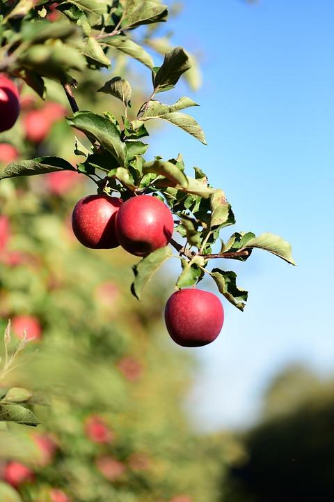 Sad, Nature, Apples, Autumn, Fresh, Collections, Mature