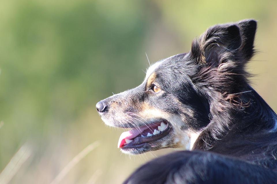 Boarder Collie, Collie, Dog, Head, Animal, Pet