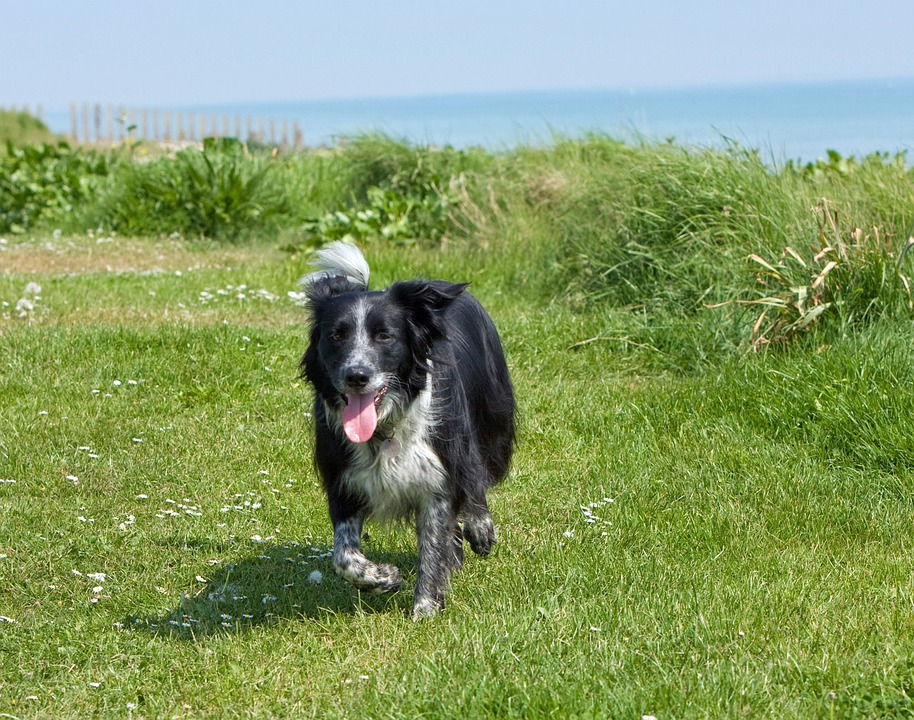 Collie, Dog, Border Collie, Canine, Pet, Animal