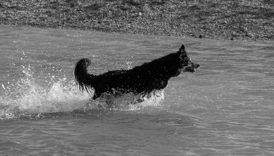 Collie In Water, Running Water, Border Collie