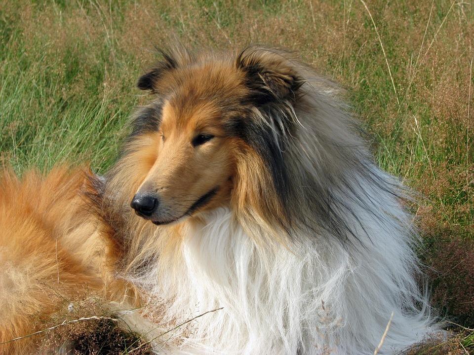 Dog, Collie, Rough Collie, Lassie, Scottish Collie