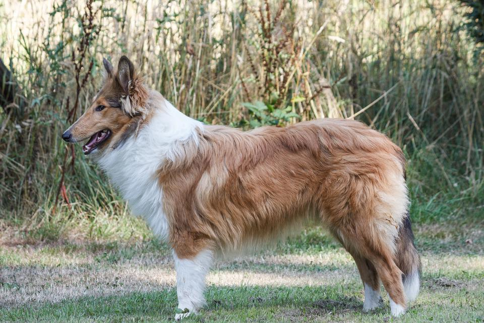 Collie, Dog, Animal, Animal Portrait, Standing