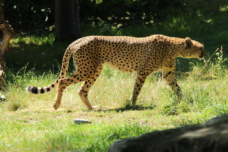 Cheetah, Big Cat, In Motion, Speed, Zoo, Cologne