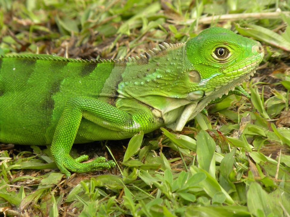 Colombia, Animals, Reptiles, Fauna, Nature, Tumaco