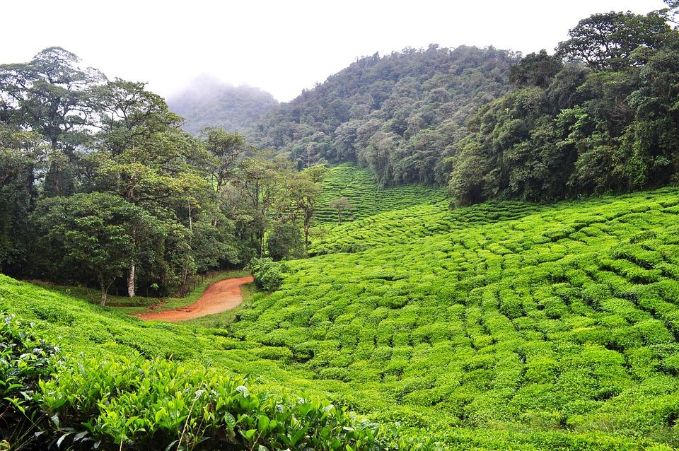 Dapa, Green Tea, Colombia, Environment, Nature