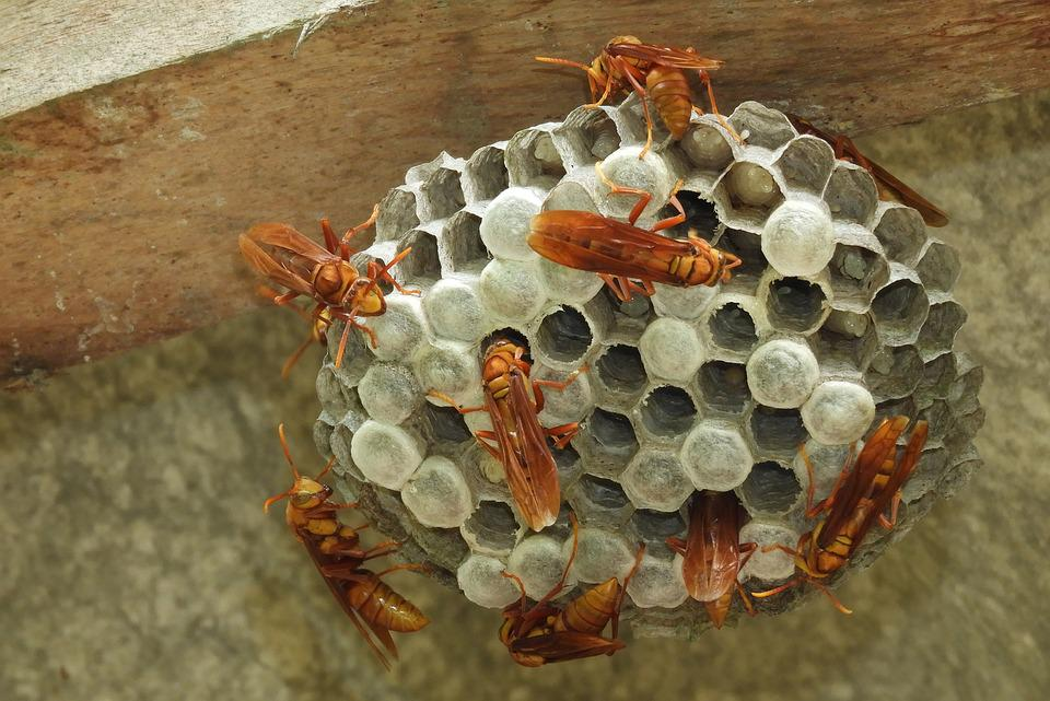 Nature, Insects, Wasps, Hive, Colombia