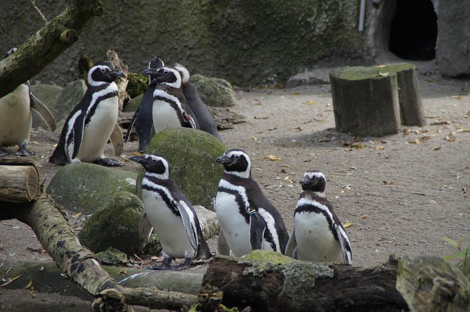 Penguins, Zoo, Enclosure, Water Bird, Bird, Colony