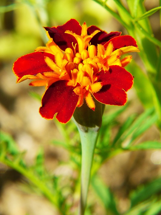 Zinnia, Flower Meadow, Color, Flowers, Bed, Yellow