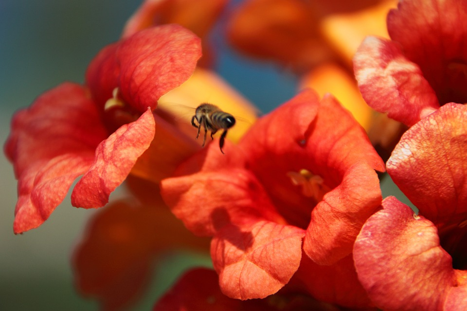 Animal, Bee, Blooming, Blossom, Buzz, Color, Flora