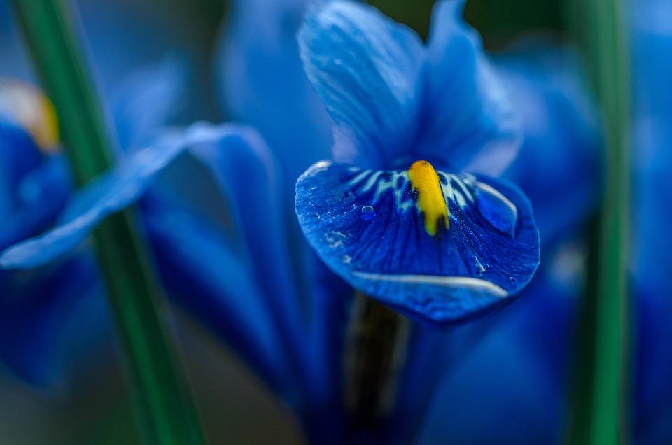Iris Blue Macro Flower Garden Nature Color