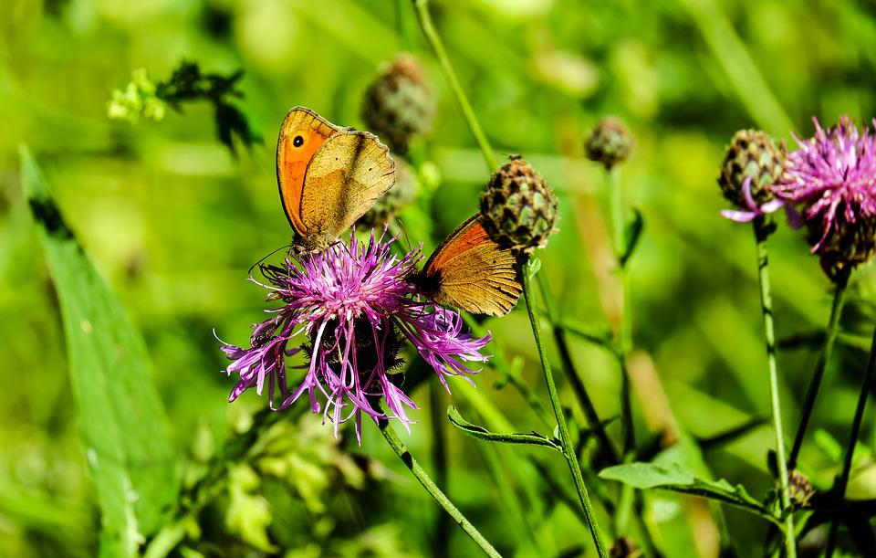 Butterfly, Pair, Insect, Animal, Color, Flower, Flowers